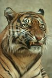 Snarling Sumatran Tiger. The smallest subspecies, Sumatran Tigers, are now the focus of environmentalists' attention since this animal is critically endangered Royalty Free Stock Images