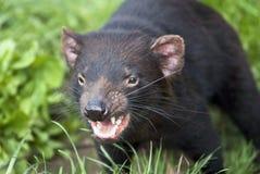 Snarling Tasmanian Devil. Ready to attack stock photos