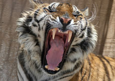 Snarling tiger. Showing teeth and wide mouth Stock Photography