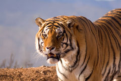 Snarling Tiger. A tiger snarling a looking out at something that has his attention (dinner maybe Royalty Free Stock Image