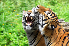 Snarling tiger Stock Photography