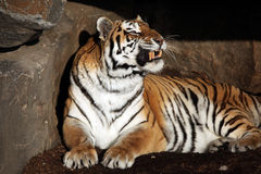 Snarling Tiger Royalty Free Stock Photos
