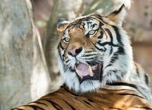 Snarling tiger Stock Image
