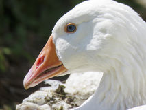 Snarling white goose. A side profile of the head of a white Embden goose, The serrated beak is clearly seen. With flared nostrils the seems prone for action royalty free stock images