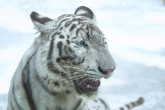 Snarling white tiger zoo stock photo