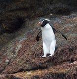 Snaror pingvin, Eudyptesrobustus royaltyfri foto