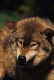 Snauwende Grijze Wolf Royalty-vrije Stock Fotografie