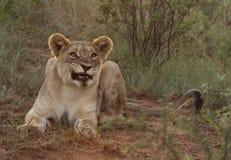 Snauwende leeuw in het avond licht Stock Afbeelding
