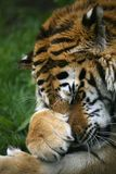 Snauwende Siberische Tijger stock afbeelding