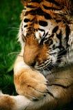 Snauwende Siberische Tijger royalty-vrije stock fotografie