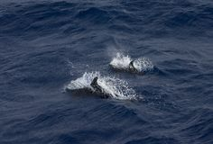 Snaveldolfijn, τραχύς-οδοντωτό δελφίνι, bredanensis Steno στοκ φωτογραφίες με δικαίωμα ελεύθερης χρήσης