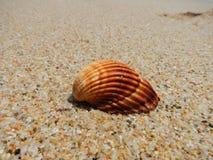Snäckskal på en strand Arkivbilder