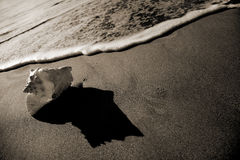 snäckskalsepiakust Royaltyfri Bild