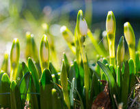 Snödroppe med blomningen, vårblomma med knoppen, uppvaknandet av naturen Arkivbild