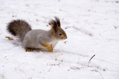 Sneaking across the snow in search of food a squirrel is gray on white snow winter forest wildlife. Sneaking across the snow in search of food a squirrel is gray Royalty Free Stock Photography