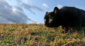 Sneaking black cat. Black domestic cat on the meadow is sneaking to hunt for food royalty free stock photography