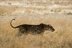 Sneaking da leoa Foto de Stock Royalty Free