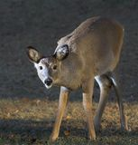 Sneaking deer Stock Images
