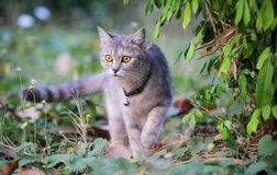 Sneaking do gato Foto de Stock