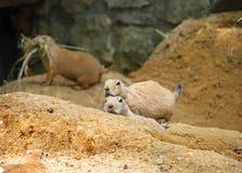 Sneaking dos roedores Imagens de Stock