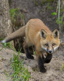 Sneaking Fox. Red Fox sneaking towards you Royalty Free Stock Image