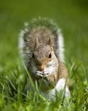 Sneaking through the grass. Tree squirrel that has found something to eat in the grass stock image