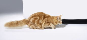 Sneaking Maine Coon kitten Royalty Free Stock Photo