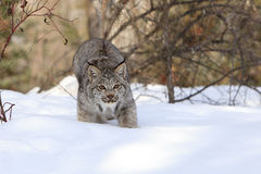 Sneaking onto prey. Bobcat in stealth mode hunting prey in snow in mountains Stock Photo