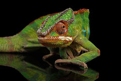 Sneaking Panther chameleon, reptile with colorful body Isolated on Black. Sneaking Panther Chameleon, reptile with colorful body on Black Mirror, Isolated Stock Photo