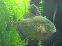 2 sneaky и опасные рыбы piranhas Стоковая Фотография RF