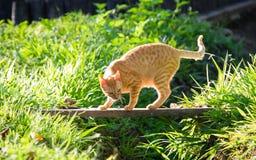 Sneaky кот Стоковая Фотография
