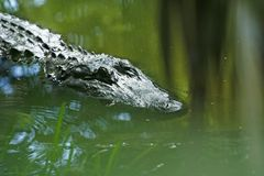 Sneaky Crocodile Royalty Free Stock Image