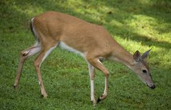 Sneaky doe. Whitetail deer doe sneaking into a yard for food stock photo