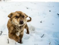 Sneaky dog walking. In the snow Stock Photos