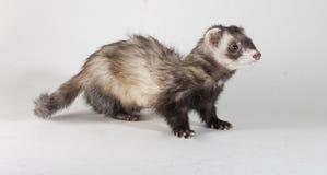 Sneaky Ferret Stock Image