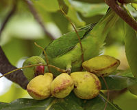 Sneaky Garden Pest. A sneaky long-tailed parakeet feeding on false kamani seeds in Hawai'i Stock Photography