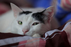 Sneaky glance. White Turkish Van cat looks into the camera Stock Image