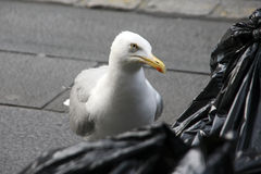 Sneaky Herring Gull Stock Photo