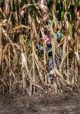 Sneaky little boy hides in behind tall corn stalks in a field stock photography