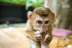 Sneaky Monkey. Sneaky funny  monkey eating fruits Royalty Free Stock Images
