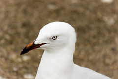 Sneaky Seagull. Seagull that was spying on me while I was doing a shoot at the beach. Inquisitive animals Stock Images