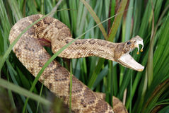 rattle snake in tall grass Stock Photo