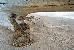 attacking rattle snake Royalty Free Stock Images