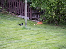 The Sneaky and the Sneakier. Sneaky cat being snuck up on by even sneakier magpie Stock Image
