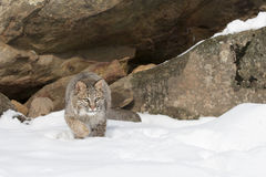 Sneaky sneaky. Bobcat in stealth mood slowly walking in snow Royalty Free Stock Images