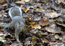 Sneaky squirrel Stock Photography