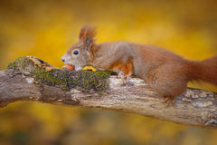 Sneaky squirrel. A sneaky red squirrel steals a nut from the right hand side royalty free stock images