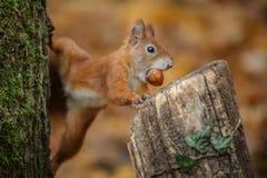 Sneaky squirrel Stock Photos