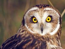 Sned boll synad Owl royaltyfria foton