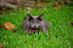 Sneeky Grey Cat. Grey Cat laying in the grass Royalty Free Stock Image
